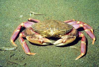 A Graceful crab